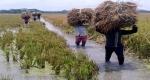 মুকসুদপুরে ৫শ' বিঘা বোরো জমিতে জলাবদ্ধতা