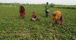 যমুনার চরে পটল চাষে হতদরিদ্র কৃষকরা স্বাবলম্বী
