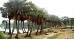 গ্রাম বাংলার ঐতিহ্য তালগাছ এখন বিলুপ্তির পথে
