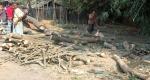 বোচাগঞ্জে রাস্তার গাছ কর্তনের অভিযোগ ১০টি গাছ জব্দ
