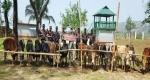 সুনামগঞ্জে ভারতীয় গরুর চালান আটক