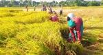 বদলগাছীতে বোরো ধানের ফলন ভাল হলেও শ্রমিক সংকটে দিশাহারা কৃষকরা