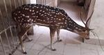 ফেনীর সোনাগাজীতে উদ্ধার সেই চিত্রা হরিণটি মারা গেছে