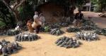 রুমায় আনারসের বাম্পার ফলনে খুশিতে চাষীরা