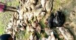 জলমহালে বিষ প্রযোগ, মারা গেল শতাধিক হাঁস