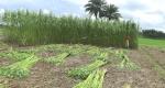 ঝিনাইদহে পাট চাষে লোকসানের মুখে কৃষক