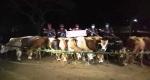 লালমনিরহাটে ভারতীয় গরু আটক করলো পুলিশ