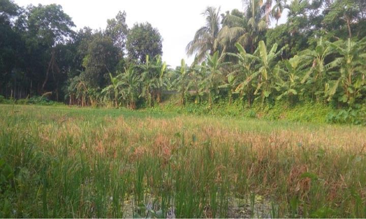 বোয়ালমারীতে প্রতিপক্ষের বাধায় জমিতেই নষ্ট হচ্ছে পাকা ধান